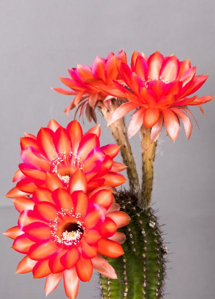 Echinopsis Hybride Raoul Wallenberg