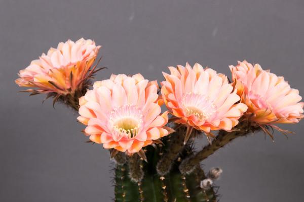 "Echinopsis Hybride ""Reverie"""