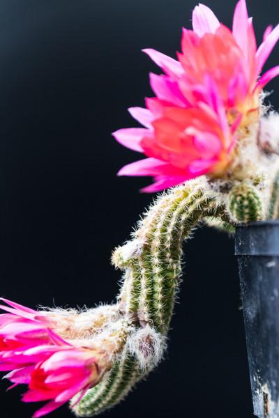 "Chamaecereus Hybride ""Cerise"""
