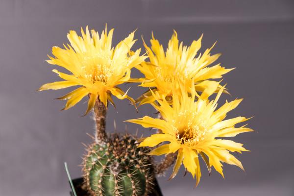 Echinopsis Hybride Sternschnuppe gezackt