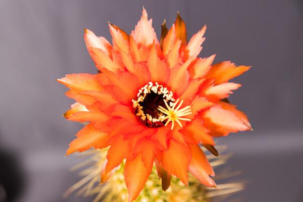 Echinopsis Hybride Super Orange gezackt