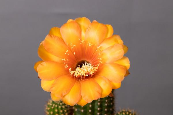 "Echinopsis Hybride ""Yellow California x Super Gelb"""