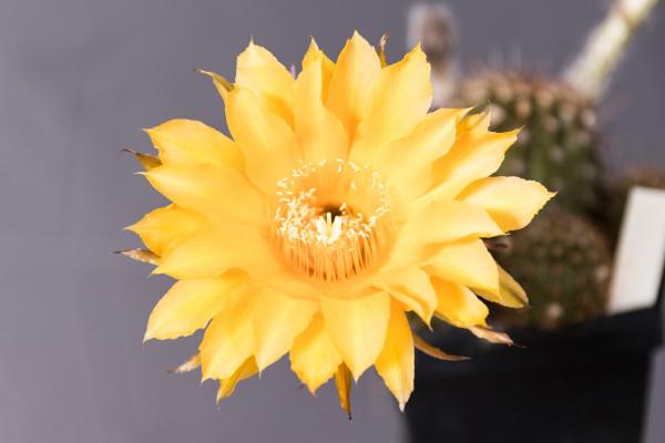 Echinopsis Hybride GH.2010.0008.016