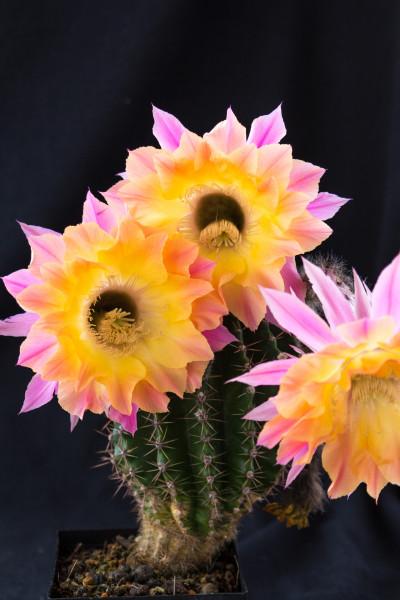 Echinopsis Hybride El Capitan