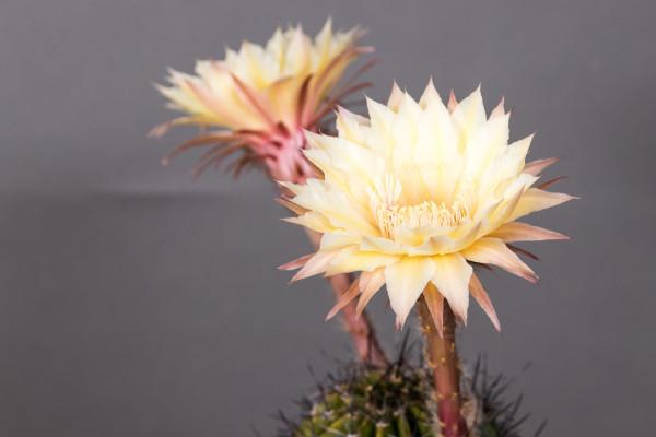 Echinopsis Hybride Maya Nr. 354